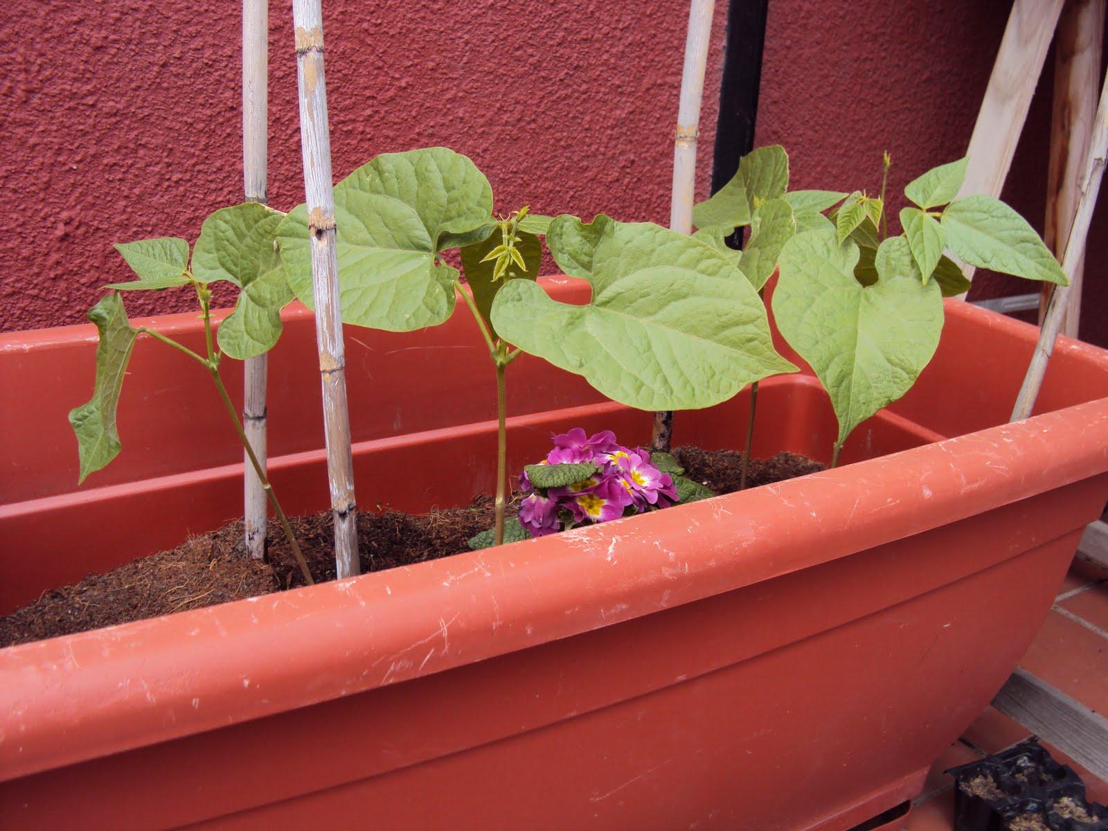 Huerto Ecol Gico En La Terraza O Balc N De Casa Jud As Verdes