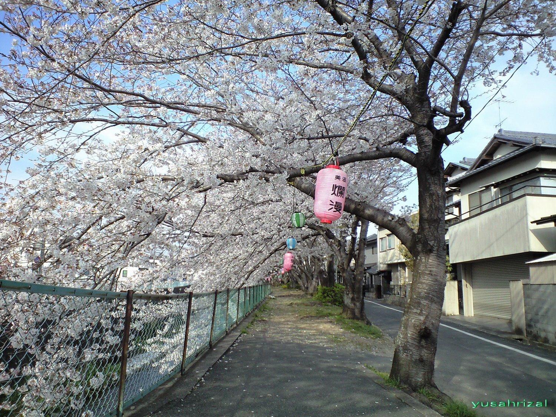 Pecinta Bunga Bunga Sakura