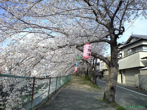 Gambar Animasi Bunga Sakura Bergerak 6 Imgurl