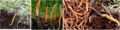 Artificial Cultivation of Cordyceps