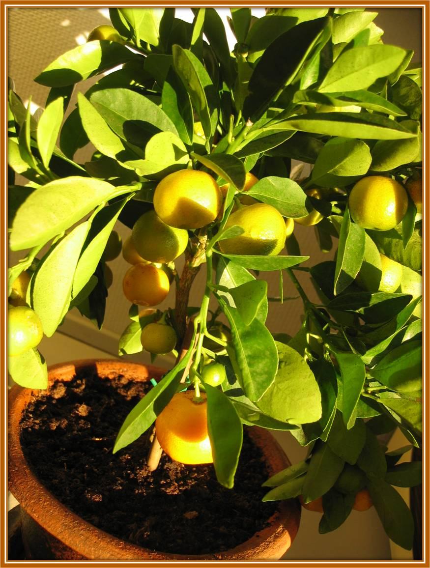 Godte: Et appelsintræ i baghaven