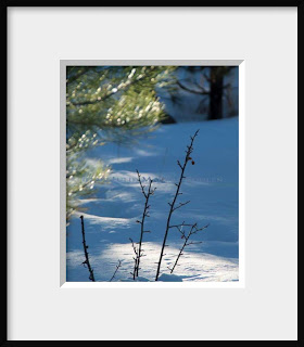 A framed photo of bare winter branches thrust up through the snow in a spot of sunlight filtered by green pines.