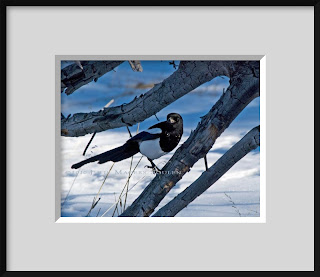 A framed photo of a black-billed magpie resting on a dead branch in Rocky Mountain National Park.