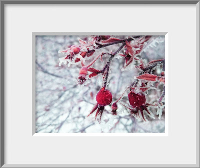 A framed photo of an icy and sparkling in the dim winter light, a cluster of ruby red rose hips highlight the winter garden.
