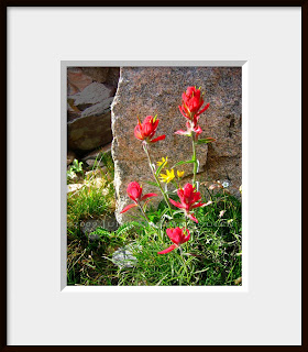 A framed photo of Indian Paintbrush was taken in Colorado's remote high country near Ruby Jewel Lake at an elevation of 11,000 feet.