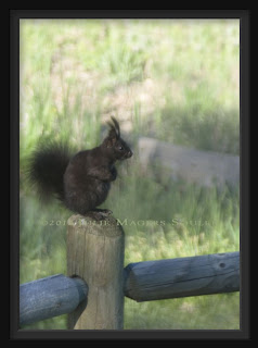 A black Abert squirrel sits on a fence post in the foothills of northern Colorado