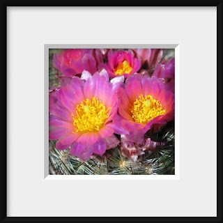 Pink Cushion Cactus Blossoms