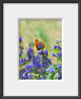 Framed orange butterfly on purple catmint flower.
