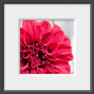 Red ruffly zinnia flower with dew drops.