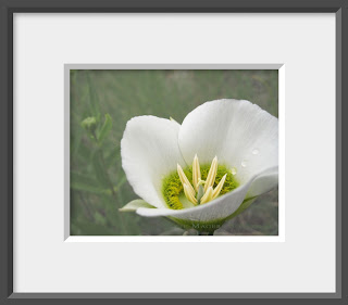 A white wildflower, Sego or Mariposa Lily with dew drops.