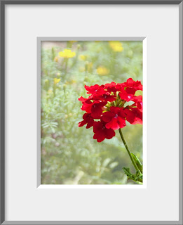 a flower photo of a bright warm red geranium standing out in a summer garden in Colorado