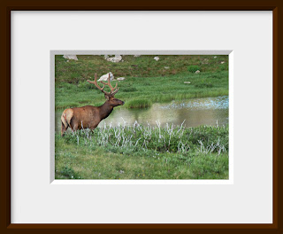 A bull elk wanders over to a pond in the alpine high country at Rocky Mountain National Park, Colorado.