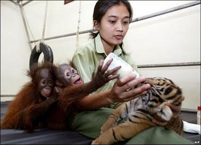 Orangutans feed Tiger Cub