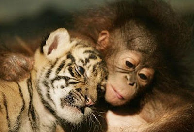 Tiger cub in Orangutans arms