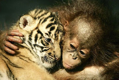 Tiger cub cuddling Orangutans