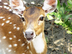 Spotted Deer at Sundarban Mangrove Forest, Reserve area