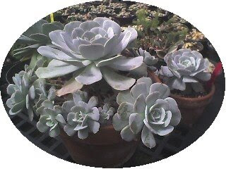 Echeveria look like roses