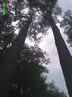 Pines reach the sky