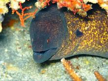 Nusa Penida Mooray Eel