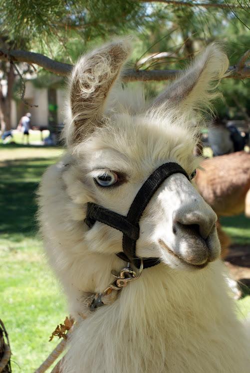 For Llama Llovers