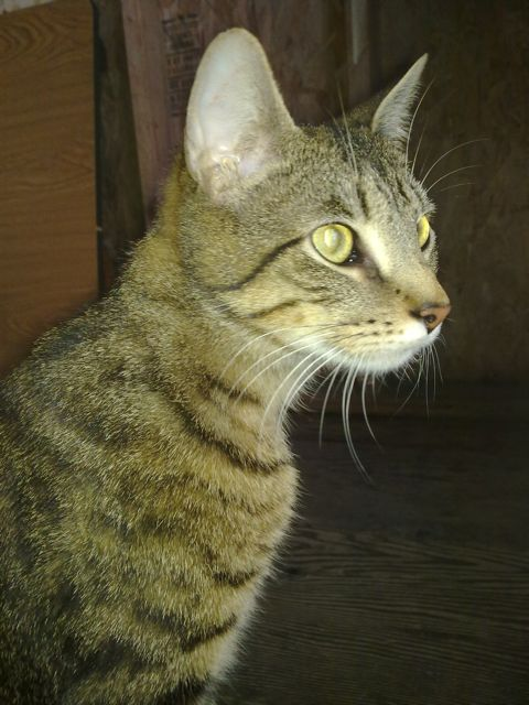 Hyperthyroidism In Cats Cause Alternative Treatment Natural