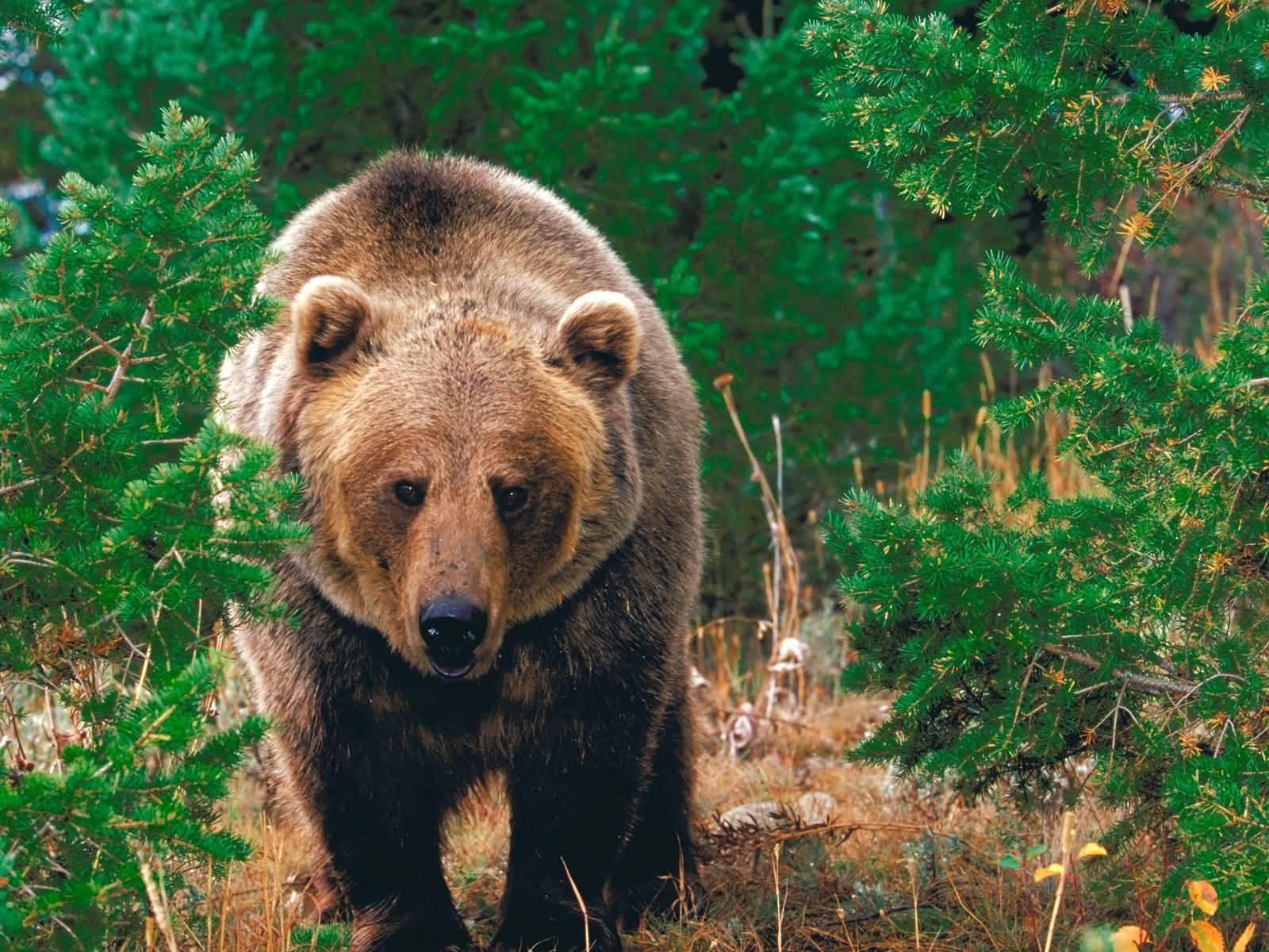 http://1.bp.blogspot.com/_B8BcVmBUiDk/TNlQPpXcpWI/AAAAAAAAAsA/KSKq2r8-xmY/s1600/Forest_Wild_Grizzly_Bear-1600x1200.jpg