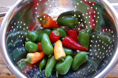 they are also known as christmas peppers because the plant itself looks like christmas tree lights jalapeno