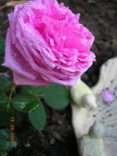 Älskar gamla rosor