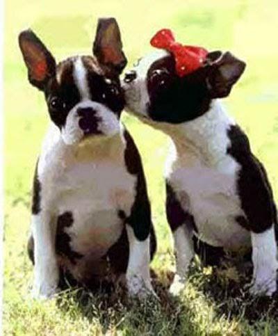 Pet Cute: Boston Terrier Eye Problems