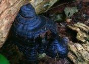 fungi  Lau