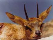 Steenbok   Nam