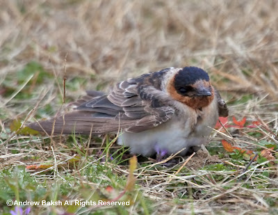 I am thankful for many things in life, especially the looks I had of this Cave Swallow seen today...