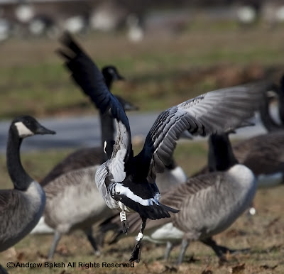 Barnacle Goose...Just Barely...