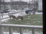 Deer on the lawn