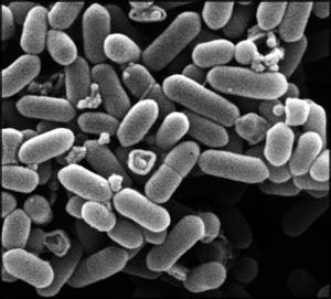 Dette er mikroskopiske bakterier
