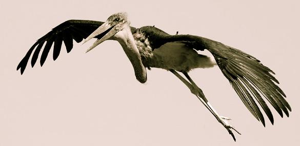 The Marabou Stork Flies Again