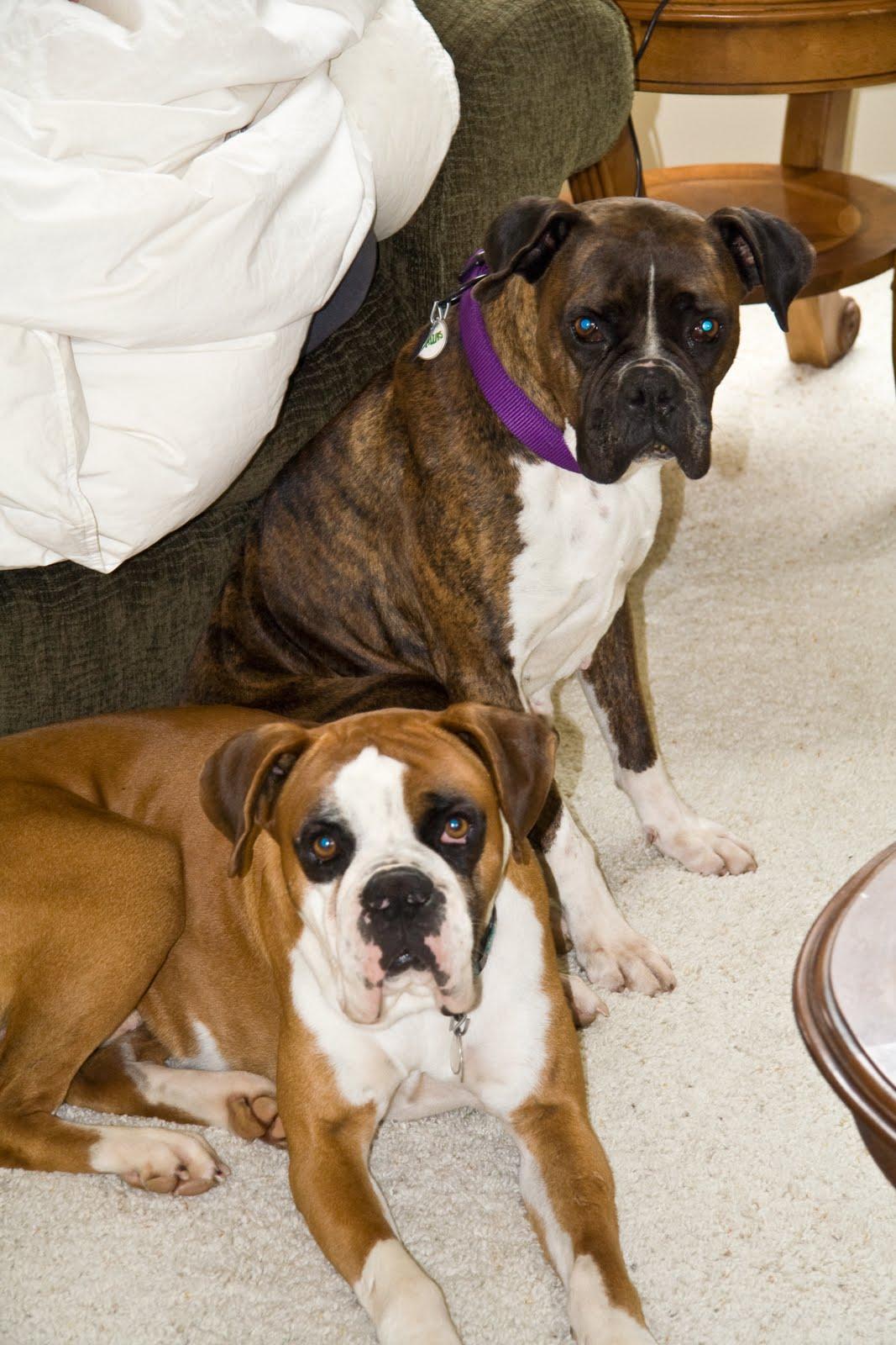 Adopt Rescue Boxer Dogs Dallas