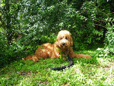 Dakota with a tire toy in front of a green bush