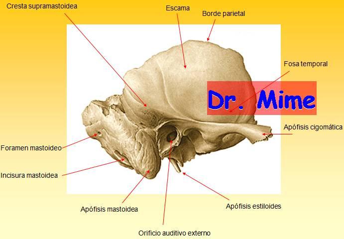 El blog neuroanatomico del Dr. Mime: HUESO TEMPORAL