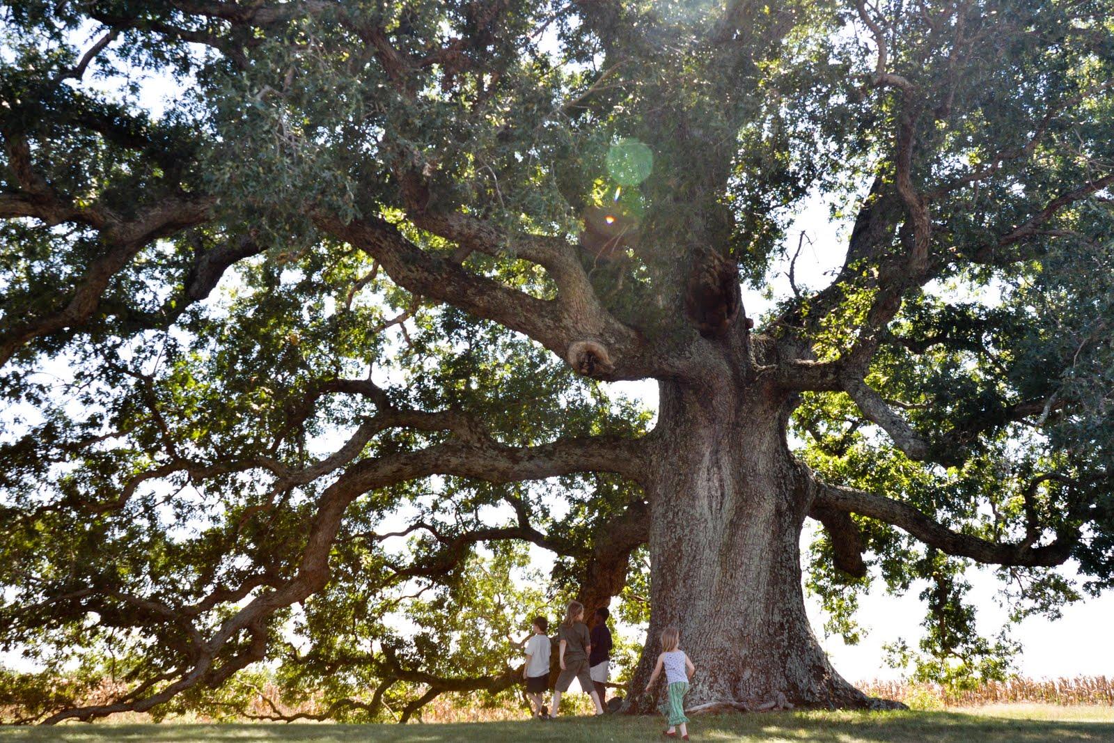 Remarkable trees of virginia oak ridge estate white