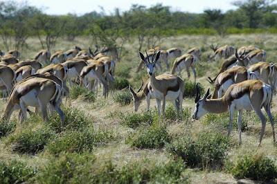 springbok etosha