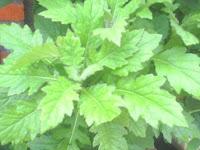 tanaman daun dewa