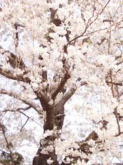 Cerejeira em flor...felicidade!