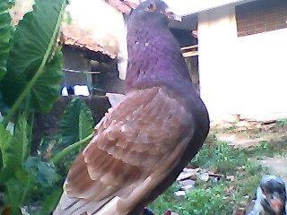 Burung balap tinggi: Burung Balap Tinggi