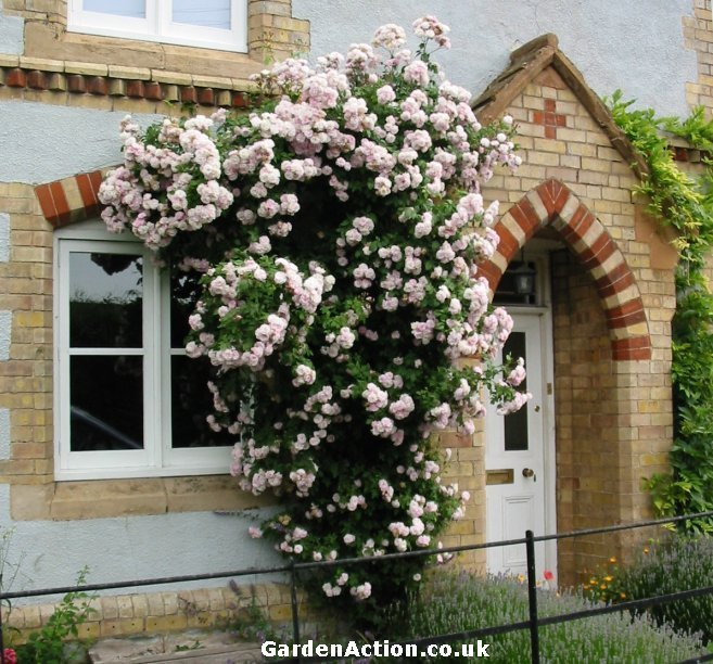 Growing Climbing Roses Can Be An Interesting Experience For Any Gardener Looking A New Project Having In Your Garden Will Not Only Give Home