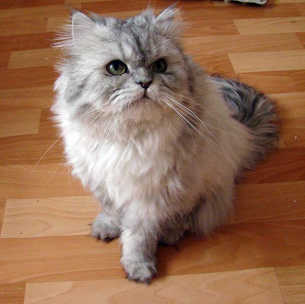 Persian Cat: Cats And Kittens: Persian (cat