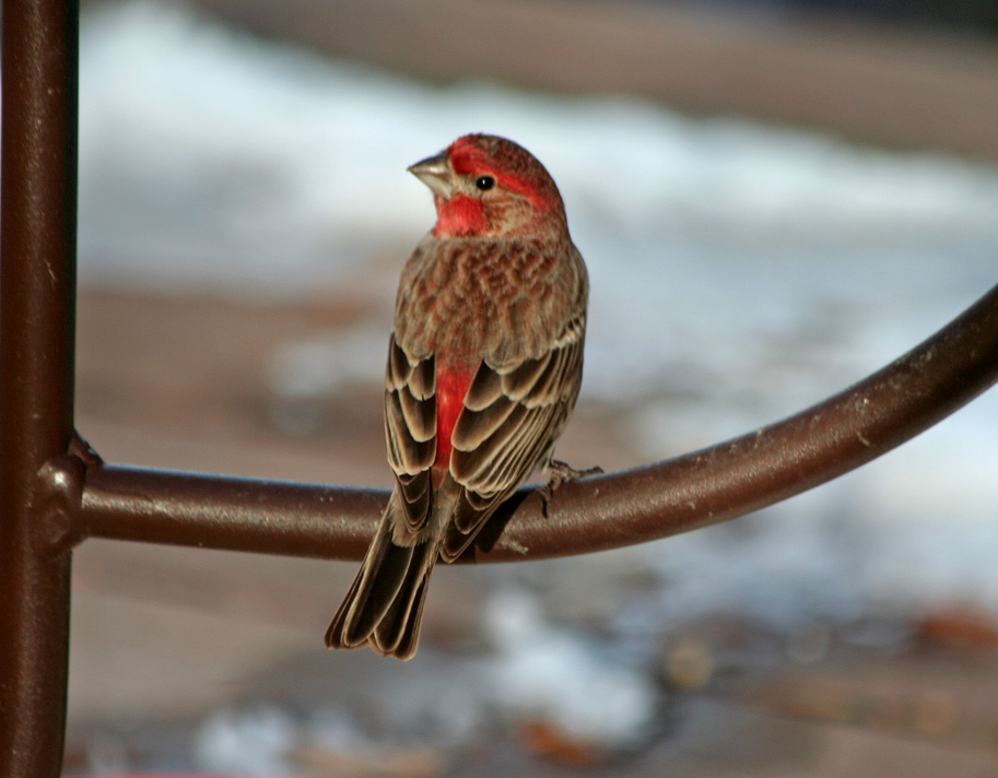 Room Without Walls Red House Finch