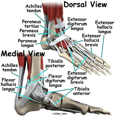 anatomy of foot. The movement of the foot