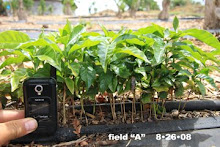 Our keiki coffee trees