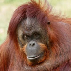 PRINT - Animal MW Grand Prix Orangutan M W